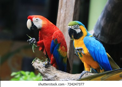 Two macaws parrots are eating leaves.