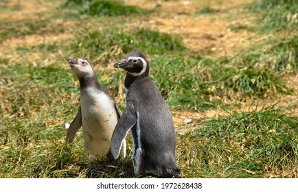 Two Magellanic Penguins, an adult and chick, on Magdalena Island, Chile.