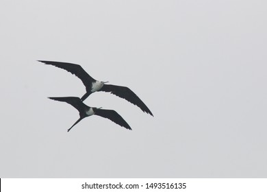 Two magnificent frigate bird,Fregata magnificens, females without red keelsack