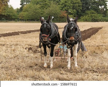 Two Magnificent Heavy Horses Pulling a Vintage Plough.