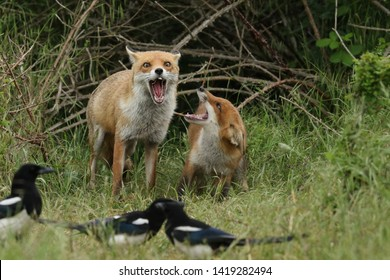 Two magnificent wild Red Foxes, Vulpes vulpes, a cub and a vixen, standing at the entrance of the den, both with their mouths wide open. They are having a scuffle over food.