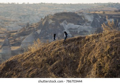 Two magpies in a nature park in the center of Turkey in the Cappadocia region
