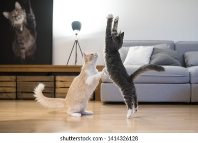 two maine coon kittens playing in living room in front of sofa jumping in the air