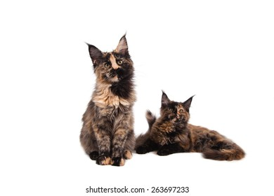 Two Maine Coon kittens sitting in front of white background. Cat sitting. Cat three months.