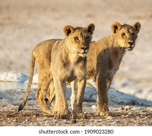 The two majestic and fierce lions walking on the rocky ground in the safari