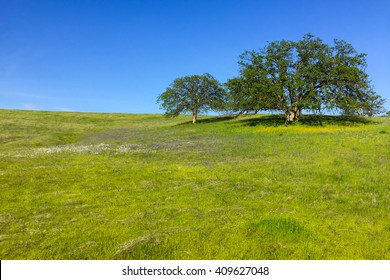 two majestic oaks on lush prairie hill with white and purple wildflowers