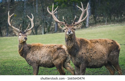 Two majestic Red deers standing in early-spring meadow ... - Shutterstock ID 1665643474