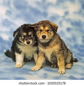 two malamute pupies siting an looking to camera.