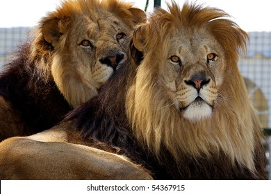 Two male adult lion's