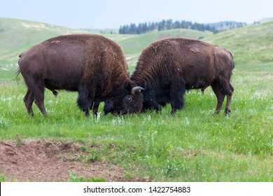 Two male bison use their heads and horns in a contest of strength on the prairie grass lands of Custer State Park, South Dakota.