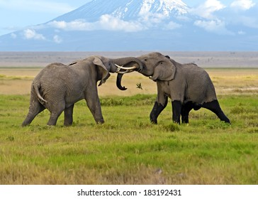 Two male elephant conflict in Amboseli Park
