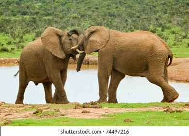 two male elephants playing at a water hole