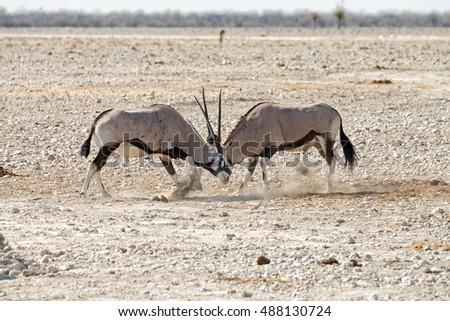 Two male gemsbok (Oryx gazella) fighting and kicking dust in Etosha National Park, Namibia