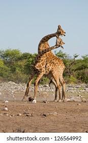 Two male Giraffes fighting; Giraffa camelopardalis