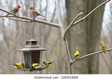 Two male House Finches above a back yard bird feeder with molting male yellow American Goldfinches