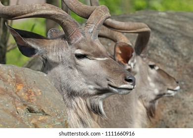 Two male kudu portrait