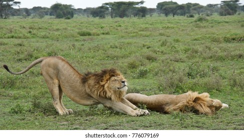 Two male lions (brothers), one sleeping, one stretching, Ngorongoro Conservation Area, Tanzania