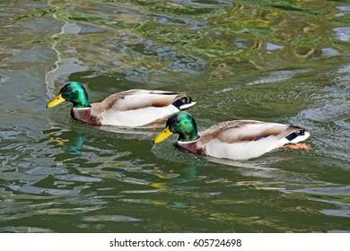 Two Male mallards Ducks in Water