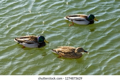 two male mallards and a female one on waters of Verbano lake, shot in bright winter light at Angera, Verbano, Varese, Lombardy, Italy