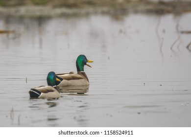 Two male mallards swimming together on surface of calm lake and quacking
