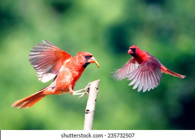 Two Male Northern Cardinals in flight with a green background