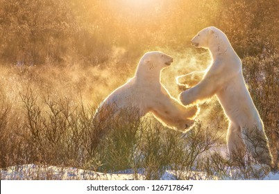 Two male polar bears (Ursus maritimus) playfully sparring together in what looks like a high five movement, raising a spray of snowflakes backlit in golden morning light. Churchill, Canada