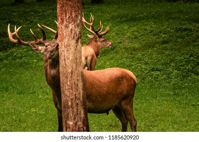 Two male red deer (Cervus elaphus) spotted in a forest in the Belgian Ardennes in the summer