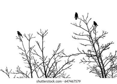 Two male red-wing blackbirds display for a seemingly unimpressed female.