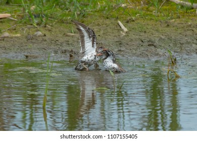 Two male Spotted Sandpipers fighting over territory and mating rights. Rouge National Urban Park, Toronto, Ontario, Canada.