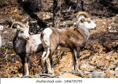 Two male Stone's Sheep standing together near the border between British Columbia and Yukon Territory. Rare relative to the Dall's Sheep further north.