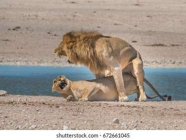 Two male and three female lions take turns at mating rather promiscuously in the grasslands around the Nebrownii waterhole, Okaukeujo, Etosha National Park, Namibia