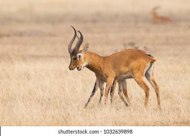 two male Ugandan Kob Kobus kob thomasi fighting in Queen Elizabeth National Park, Uganda