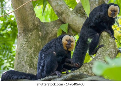 two male white-faced saki monkeys on the trees. A species of the New World saki monkey,  arboreal creatures and are specialists of swinging from tree to tree, they are also terrestrial when foraging