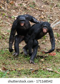 Two  males bonobo  mating.  Democratic Republic of Congo. Africa