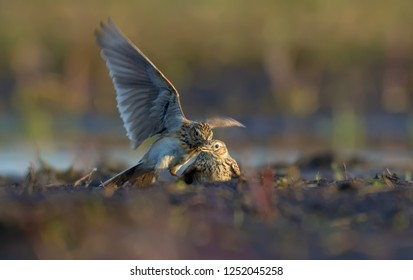 Two males of Eurasian skylark in cruel combat against each other in dirty earth