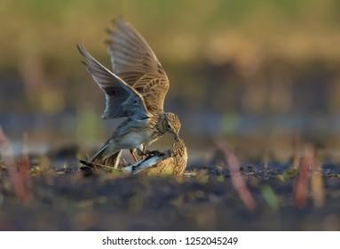 Two males of Eurasian skylark in ferocious battle against each other on the soil