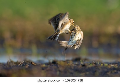 Two males of Eurasian skylark fight against each other as they fly near the ground