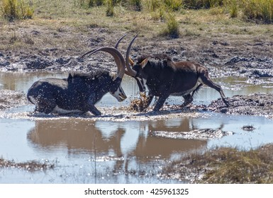 Two males Sable antelope (Hippotragus niger) fight for leadership of the herd in Chobe National Park - Botswana, South-West Africa