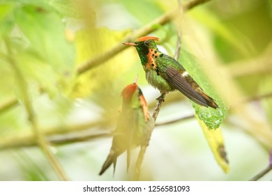 Two males of Tufted Coquette (Lophornis ornatus) sitting on branch, bird from caribean tropical forest, Trinidad and Tobago, beautiful colorful hummingbird sitting in the rain and enjoying shower
