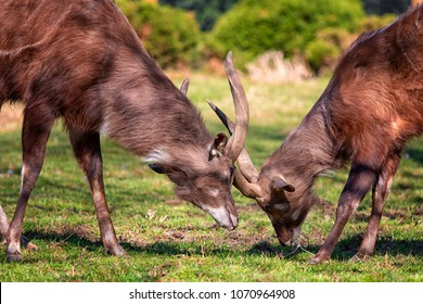 Two males of West African Sitatunga starts fighting