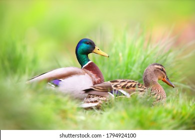 Two mallard, anas platyrhynchos, sitting in grass in summertime nature. Pair of wild birds floating on in wetland from side. Duck male and female swimming in wet habitat.