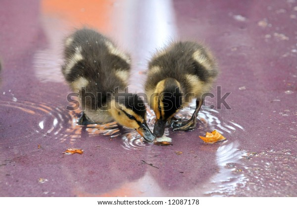Two Mallard ducklings eating from shallow water