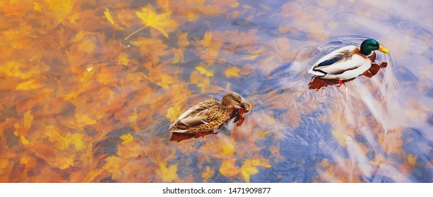 Two mallard ducks on a water in dark pond with floating autumn or fall leaves, top view. Beautiful fall nature background. Autumn october season animal landscape. Vibrant red orange nature colors
