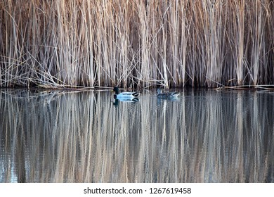 Two Mallards float in front of tall grasses mirrored in large pond.