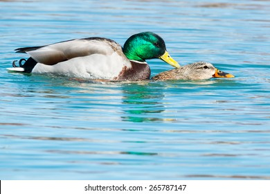 Two Mallards mating in the open water.