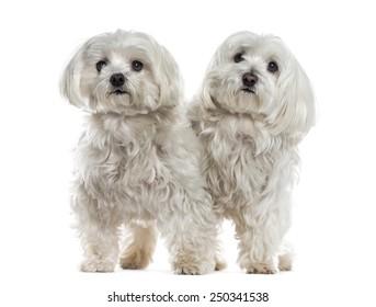Two malteses