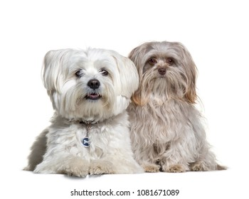 Two Malteses sitting in front of a white background, Dog, isolated