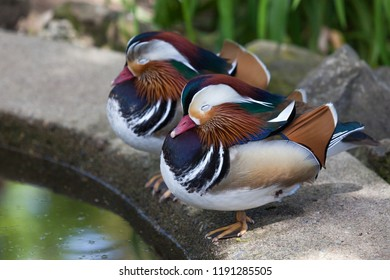 Two Mandarin ducks with elaborite colors and patterns sleeping next to a shallow pond .