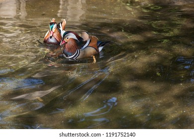 Two Mandarin ducks with elaborite colors and patterns swim in a shallow pond .