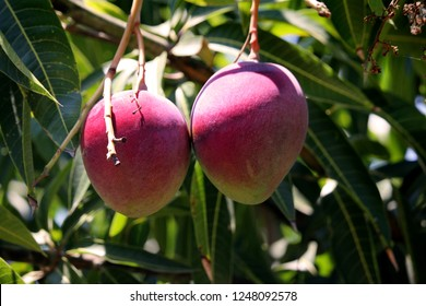 Two with mango fruits hanging